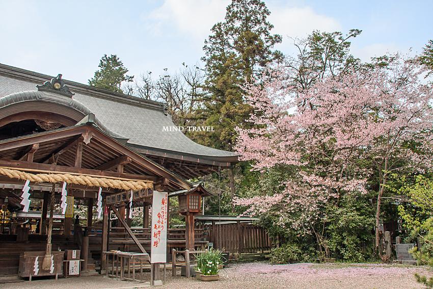 大和神社 桜