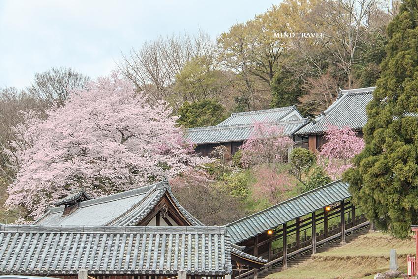 二月堂 桜
