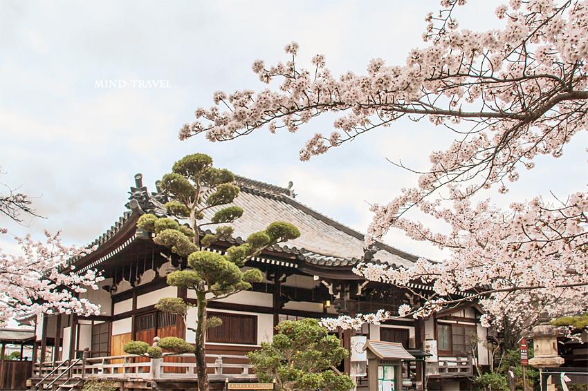 帯解寺 本堂 桜