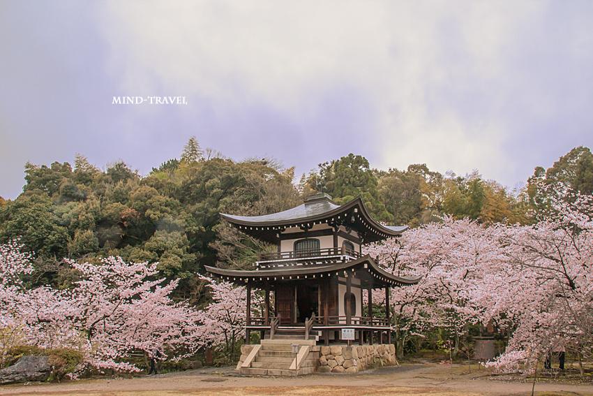 勧修寺 観音堂 桜