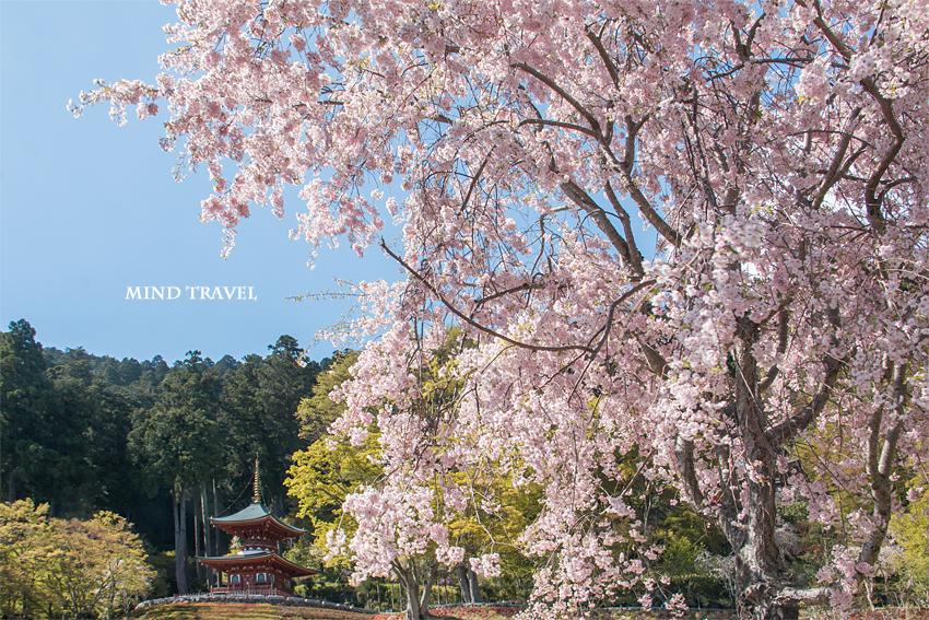 勝尾寺 多宝塔 桜