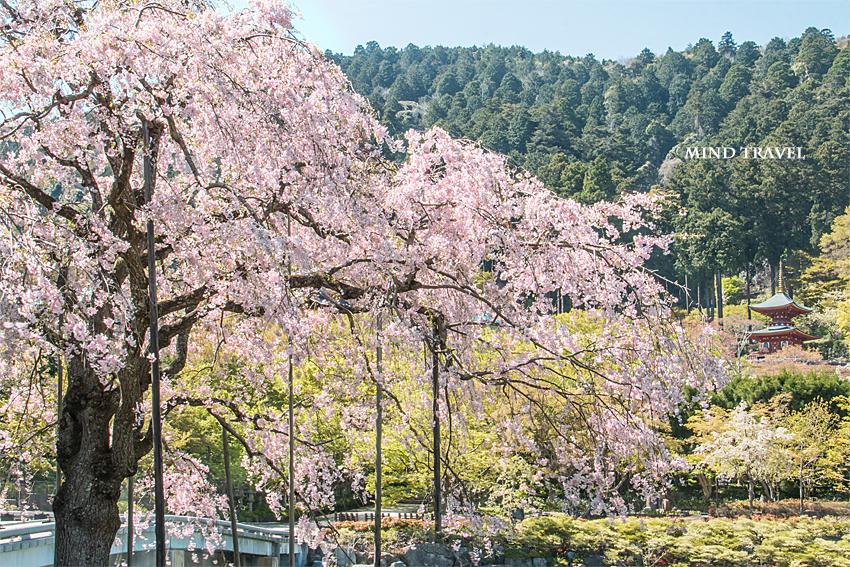 勝尾寺 多宝塔 しだれ桜