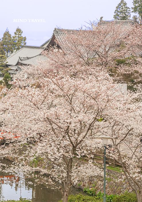 安倍文殊院 本堂 桜