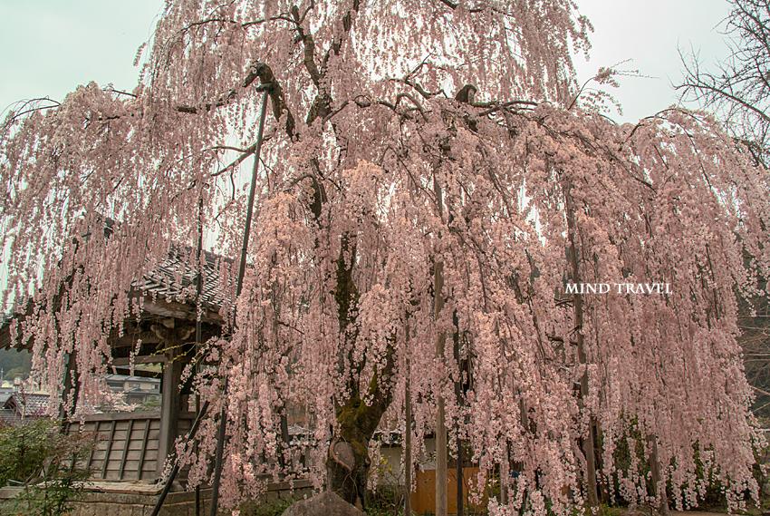 大野寺 しだれ桜2