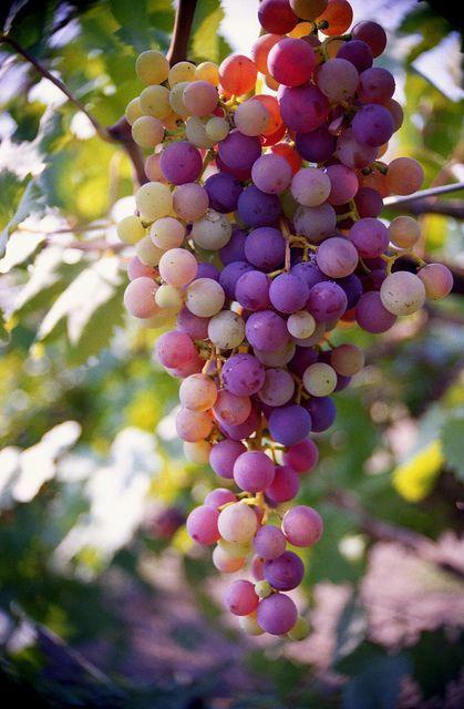 酸っぱい葡萄