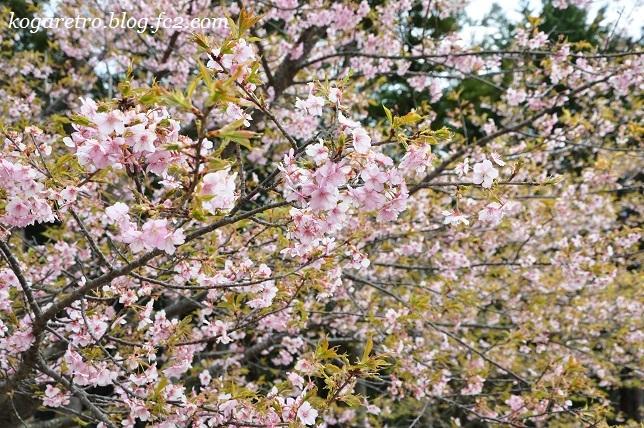 フラワーパークで河津桜3