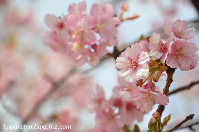 フラワーパークで河津桜7
