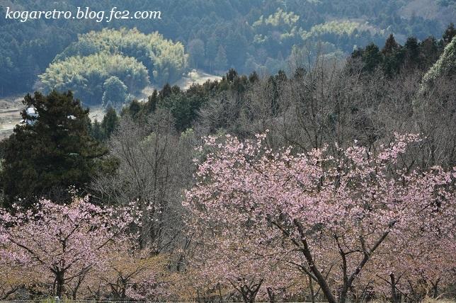 フラワーパークで河津桜