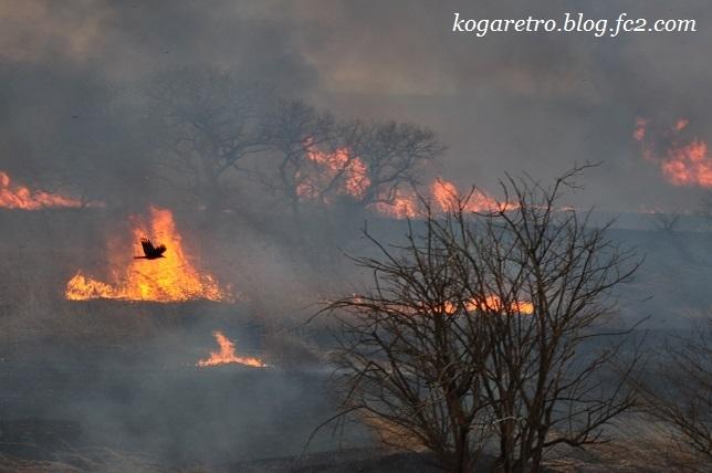 2017渡良瀬遊水地のヨシ焼き11
