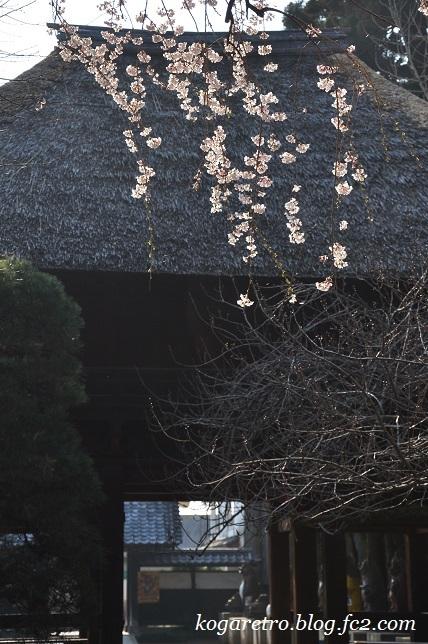 茂林寺のシダレザクラ2