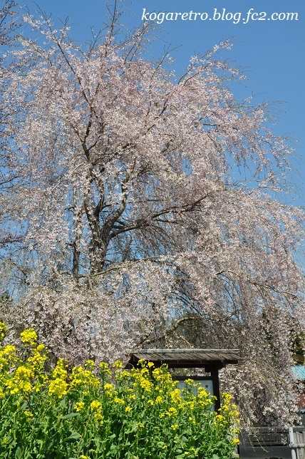 満福寺のシダレザクラ4