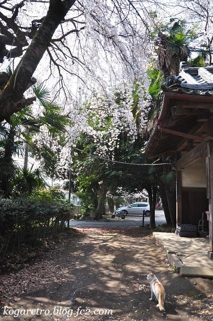 お雀神社のシダレザクラ3