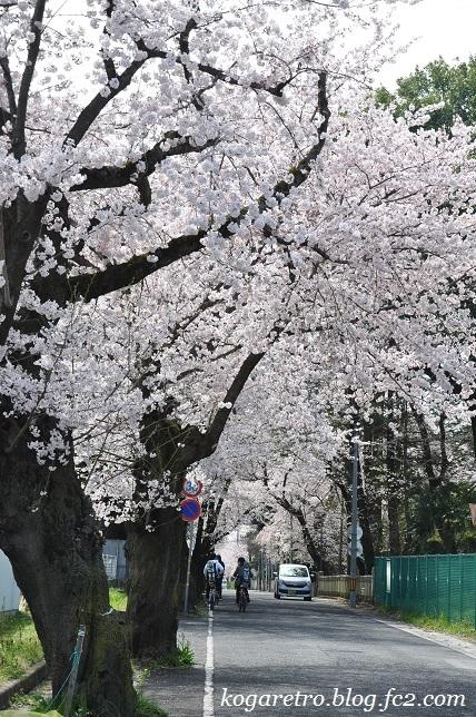 古河五小通りの桜2