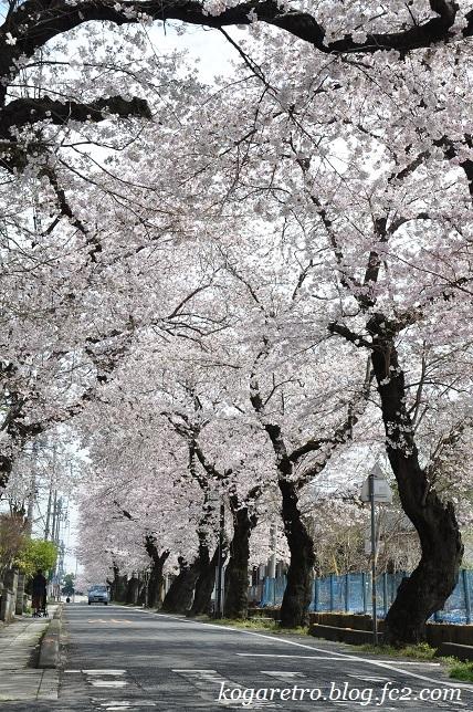 古河五小通りの桜3