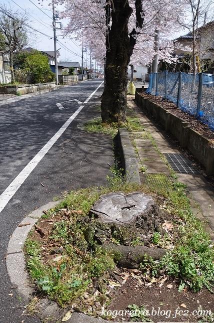 古河五小通りの桜5