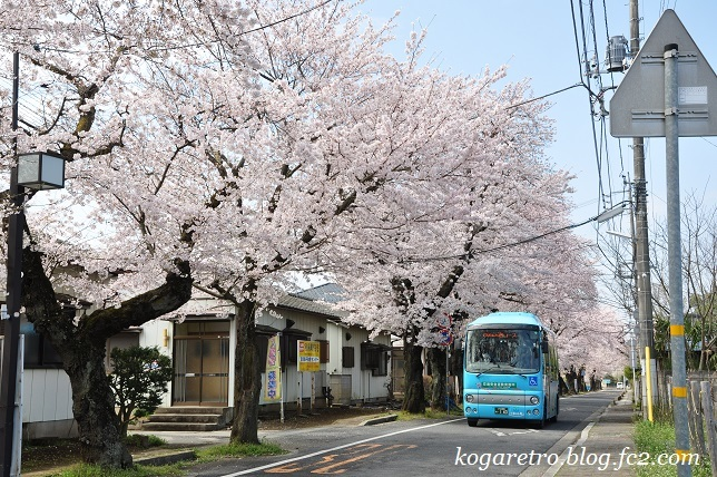 古河五小通りの桜