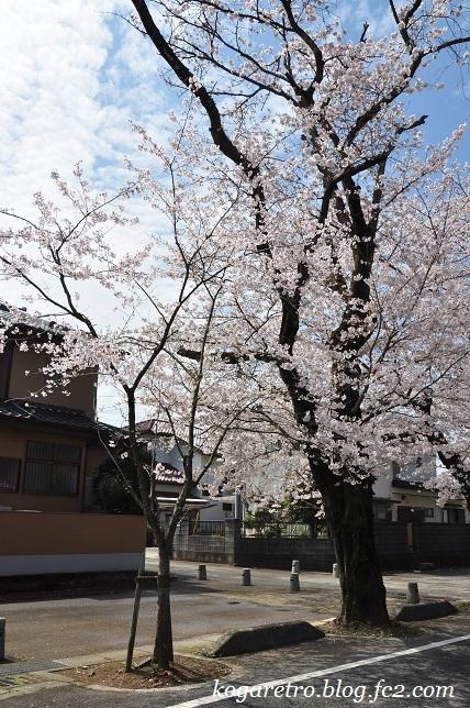古河五小通りの桜6
