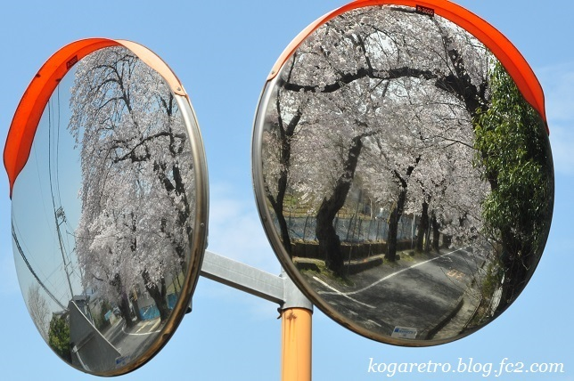 古河五小通りの桜7