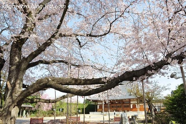 2017満福寺の桜3
