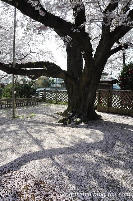 2017満福寺の桜4