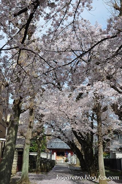 お寺と神社の桜
