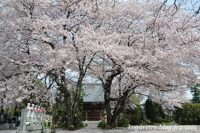 お寺と神社の桜4