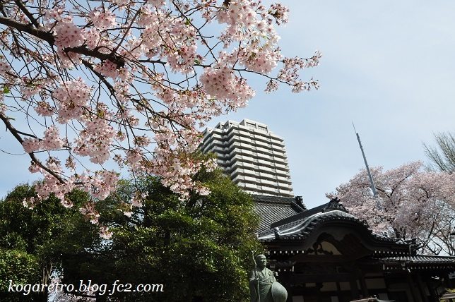 お寺と神社の桜5
