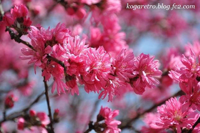古河総合公園の桜3