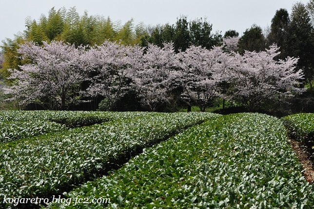 古河総合公園の桜4