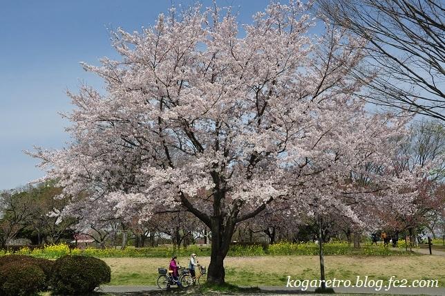 古河総合公園の桜8