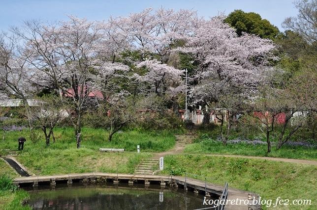 古河総合公園の桜10