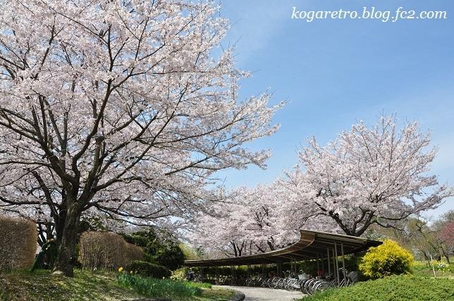古河総合公園の桜12