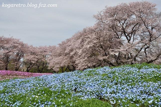 トレジャーガーデンの芝桜