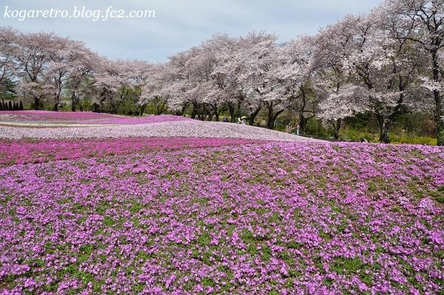 トレジャーガーデンの芝桜2