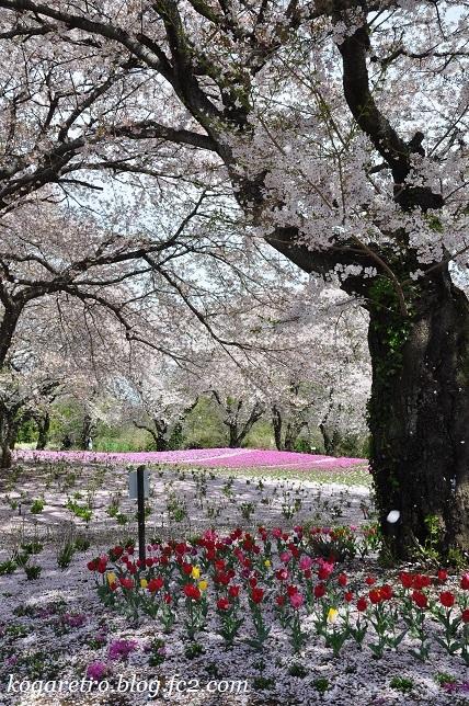 トレジャーガーデンの芝桜3