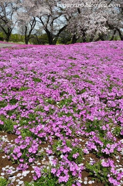 トレジャーガーデンの芝桜4