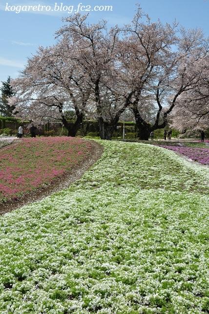 トレジャーガーデンの芝桜5