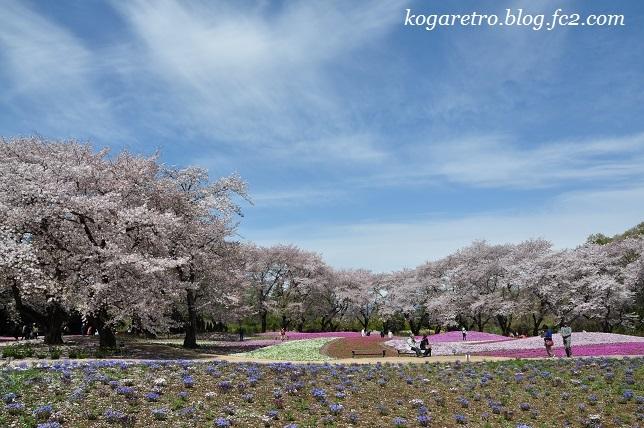 トレジャーガーデンの芝桜7
