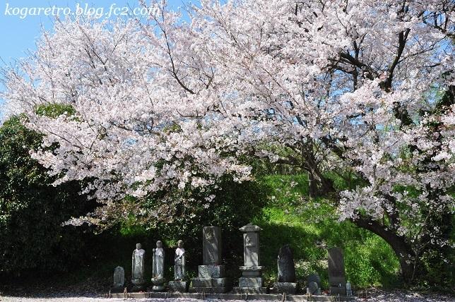 合の川跡の桜