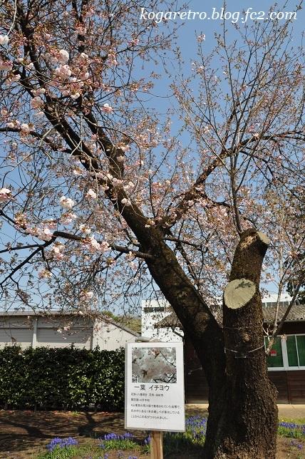 2017結城農場の桜