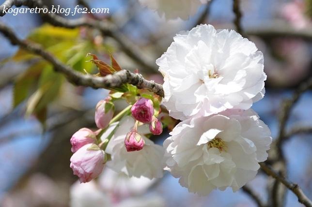 2017結城農場の桜2