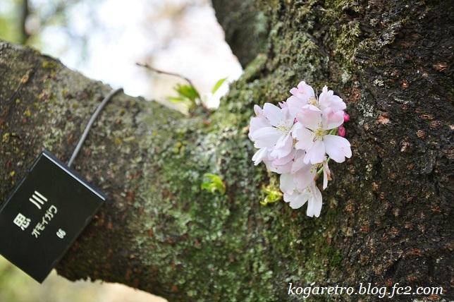 2017結城農場の桜4