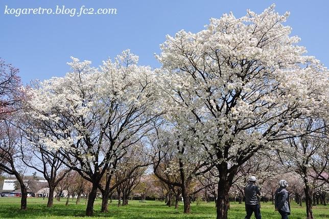 2017結城農場の桜5