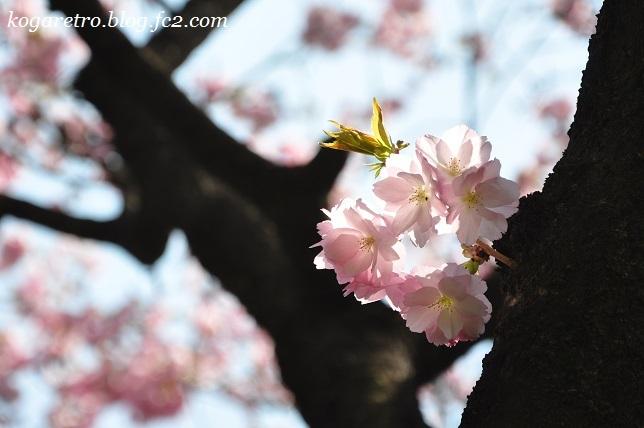 2017結城農場の桜6