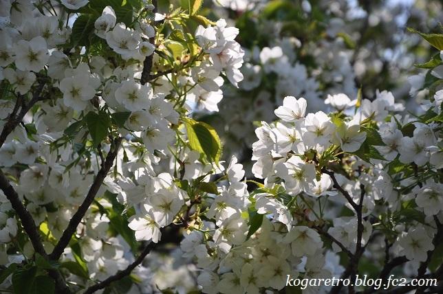 2017結城農場の桜7
