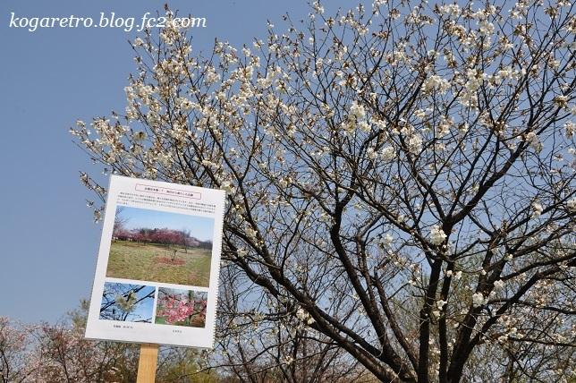 2017結城農場の桜8