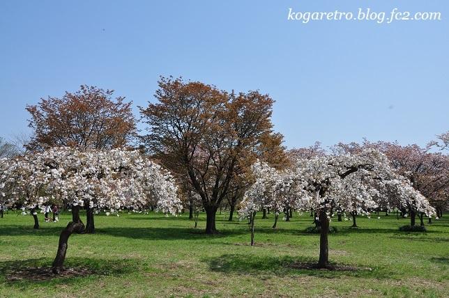 2017結城農場の桜9