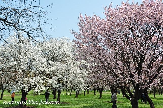 2017結城農場の桜10