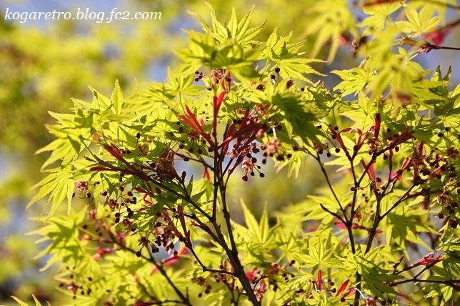 野木の公園で八重桜5