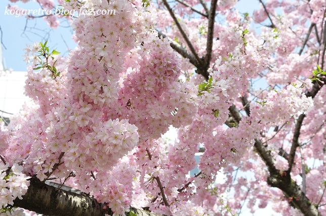 2017小山の思川桜2